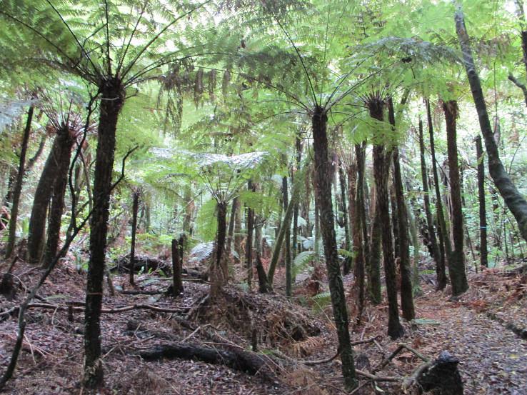 Les plný stromových papradí, Tikitapu Nature Walk