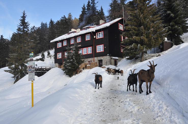 Kozy pred chatou