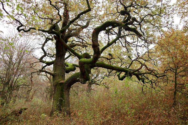Starý dub v Panónskom háji