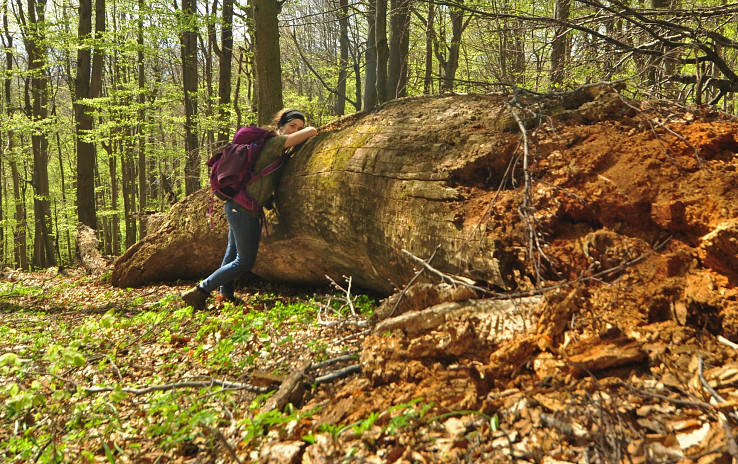 Obrovský padnutý strom v pralese Kyjov