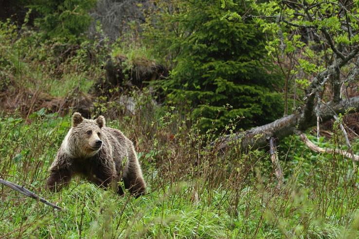 Medveď hnedý, foto Karol Kaliský