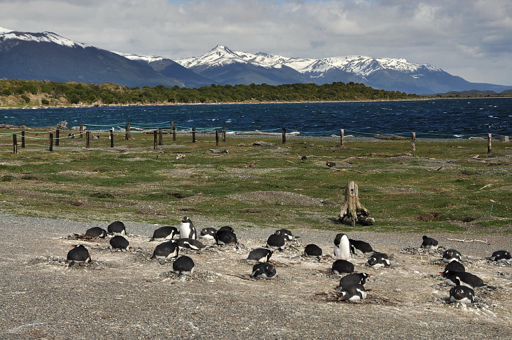 Skupina tučniakov na hniezdach, v pozadí hory patriace Čile