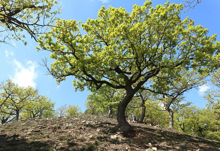 Malokarpatský kopec Bučková s krásnymi zakrpatenými dubmi