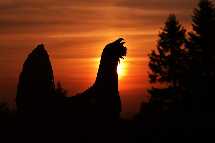 Hlucháň hôrny (autor fotografie: Miroslav Saniga)