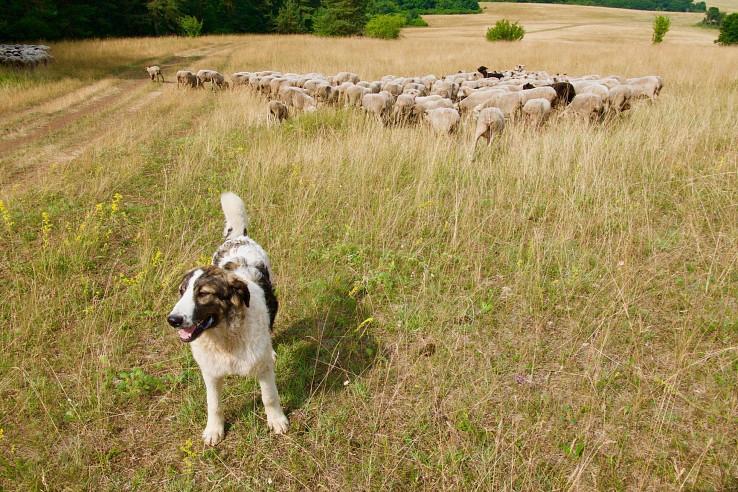 Pastiersky pes so stádom (autorka foto: Soňa Mäkká)