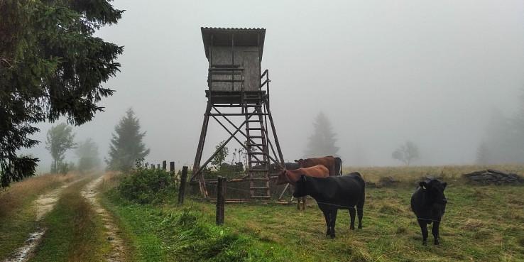 Ráno v obkľúčení stáda kráv
