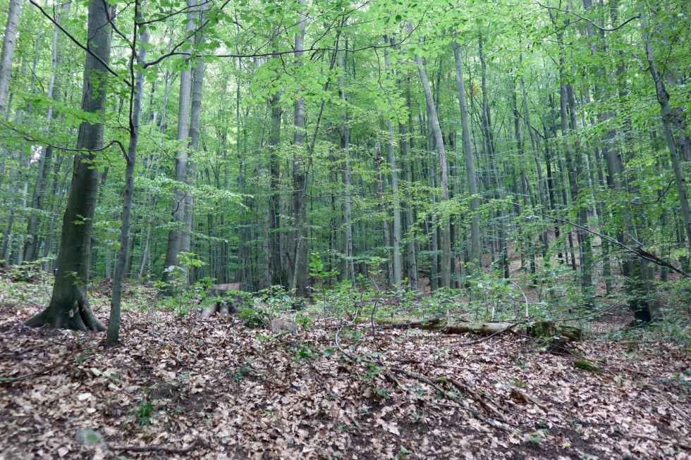 Tu sa odstránil jeden strom a zmladzovanie sa necháva na prírodu