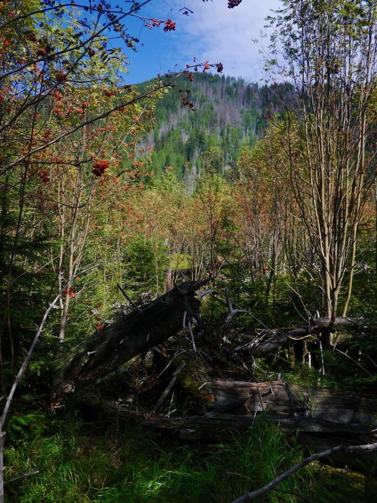 Pionierska drevina jarabina obsadila územie po kalamite, chráni pôdu a tieni mladým stromčekom