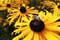 Včela medonosna pri praci / 1.0000
