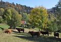 Škótske kravy