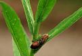 Kvetnárik brestový (Xysticus ulmi)