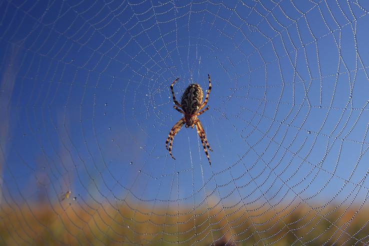 Modro-žltý pavúk