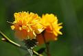 Kerria japonica / 1.0000
