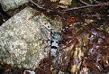 Fúzač alpský (Rosalia alpina)
