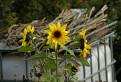Slnečnice v jeseni