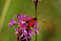 Vretienka dúšková (Zygaena purpuralis).  / 1.0000