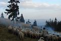 Pastier oviec