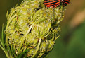 Bzdocha pásavá (Graphosoma lineatum)