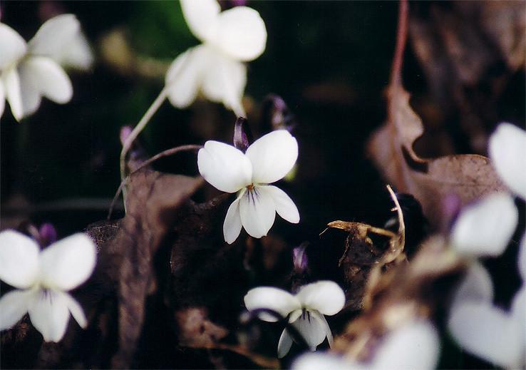 fialka biela (viola alba)
