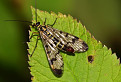 Lietajúci škorpion
