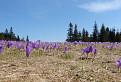 šafránové pole
