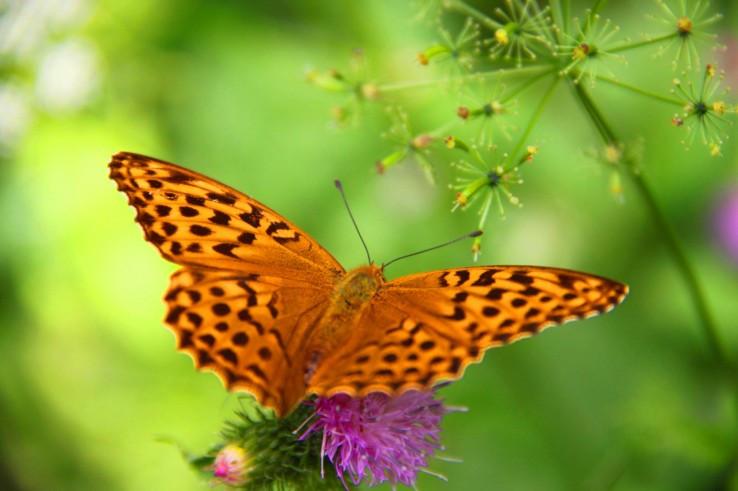 perlovec fialkový