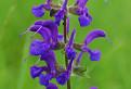Šalvia lúčna (Salvia pratensis )