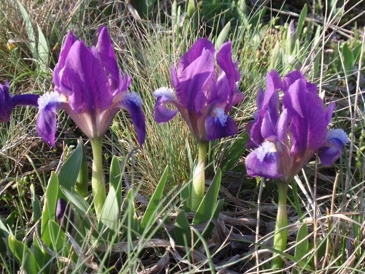 Kosatec nízky (Iris pumila)
