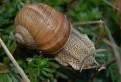 Slimák záhradný (Helix pomatia)