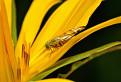 Muška (Trypetoptera punctulata)