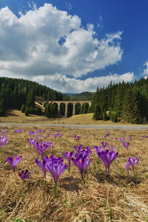 Chmarošský viadukt a šafrany