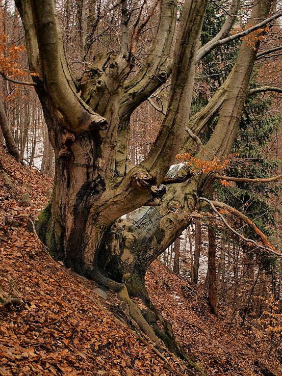 Strom tvárí lesných bytostí.