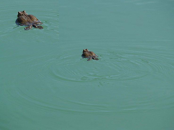 Nadrozmerná plavkyňa