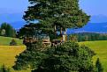 Majestátna Borovica lesná (Pinus sylvestris)