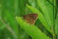 Očkáň obyčajny (Aphantopus hyperantus)