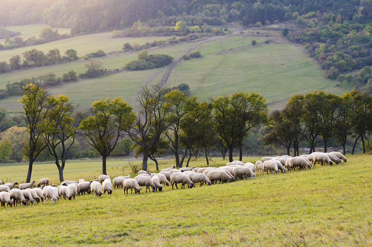 Omšenské ovečky