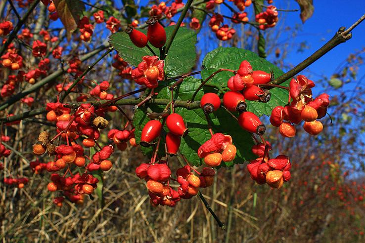 Bršlen európsky (Euonymus europaea)