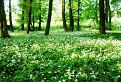 Cesnakový les.