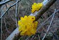 Želatina - Rosolovka zlatožltá.