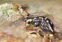 Salamandra škvrnitá / 1.1000