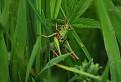 Kobylka hryzavá (Decticus verrucivorus)
