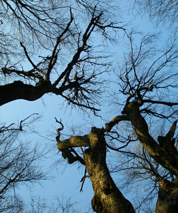 Krivé stromy na Krivoštianke
