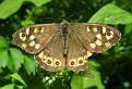 Prvomájový motýlik