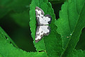 Piadivka liesková (Lomaspilis marginata)