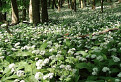 V cesnakovom lese / 1.0385