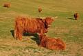 Škótsky horský dobytok