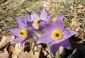 Poniklec velkokvety (Pulsatilla grandis)