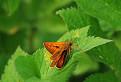Súmračník hrdzavý (Ochlodes venatus)