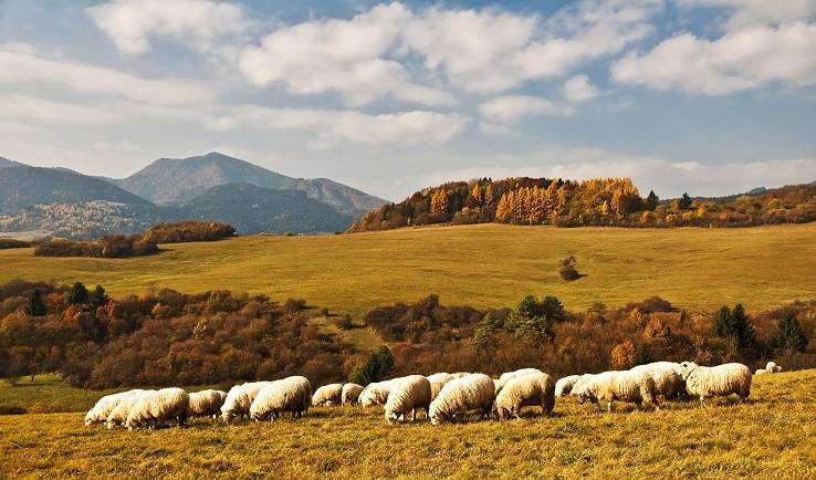 Ovečke na jesennej paši
