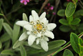 Leontopodium alpinum / 1.1500